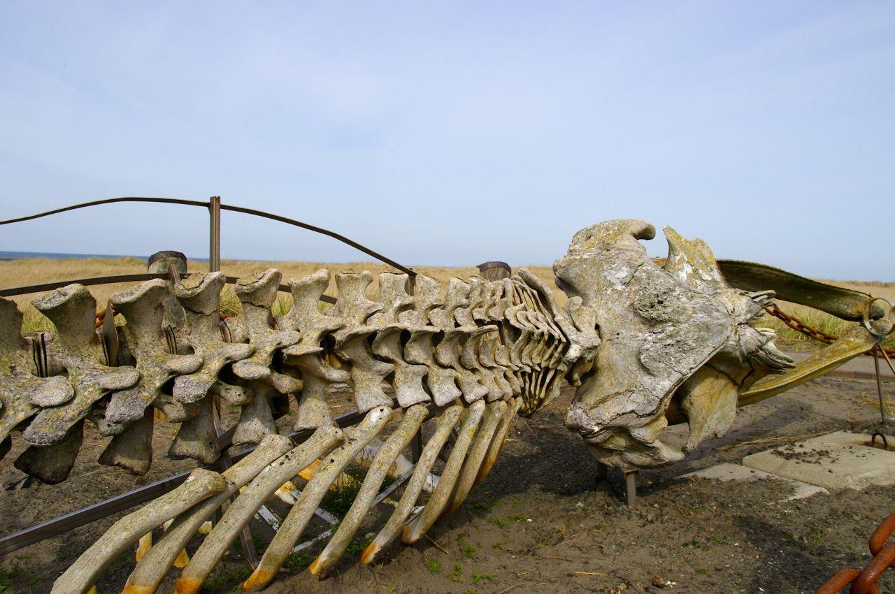 Whale skeleton on beach - photo#19