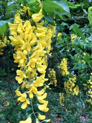 Yellow flowered tree at wygant trailhead oregon hikers yellow flowered tree at wygant trailhead mightylinksfo