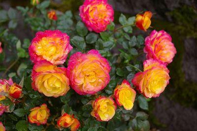 two tone rose international rose test garden bobcat - Portland Rose Garden